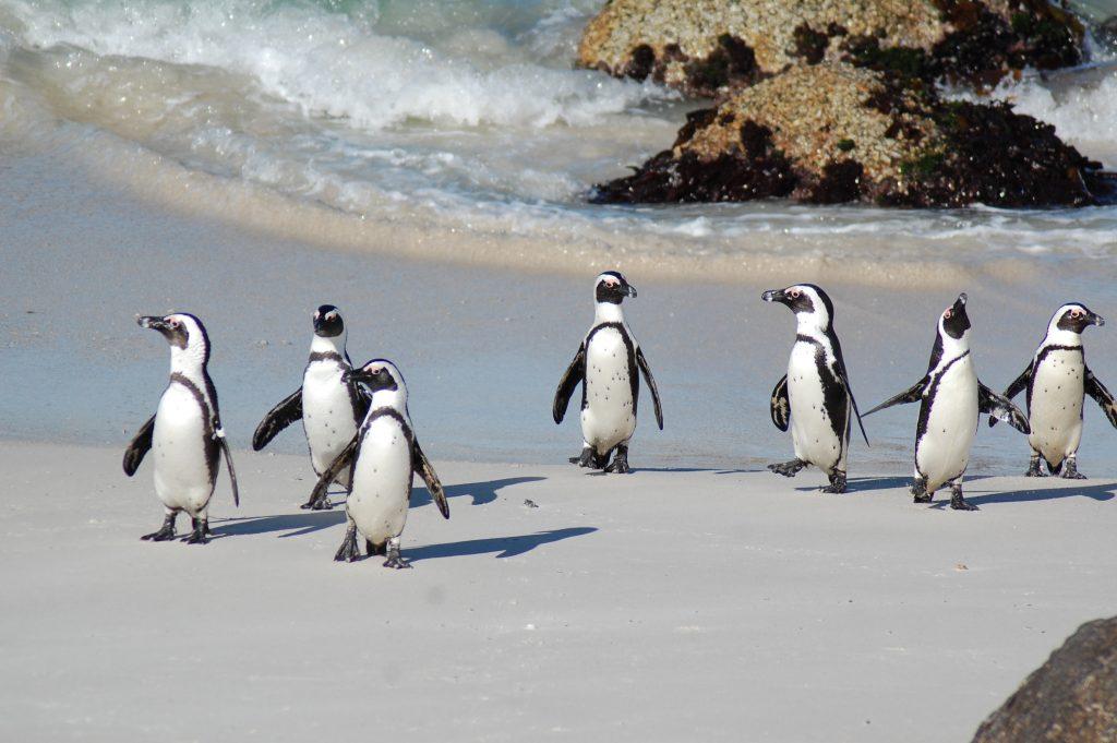Pingviner på rekke på stranden med havet brusende og steiner bak