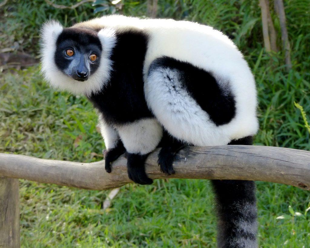 Svart og hvit lemur som sitter på en gren og ser ut over landskapet