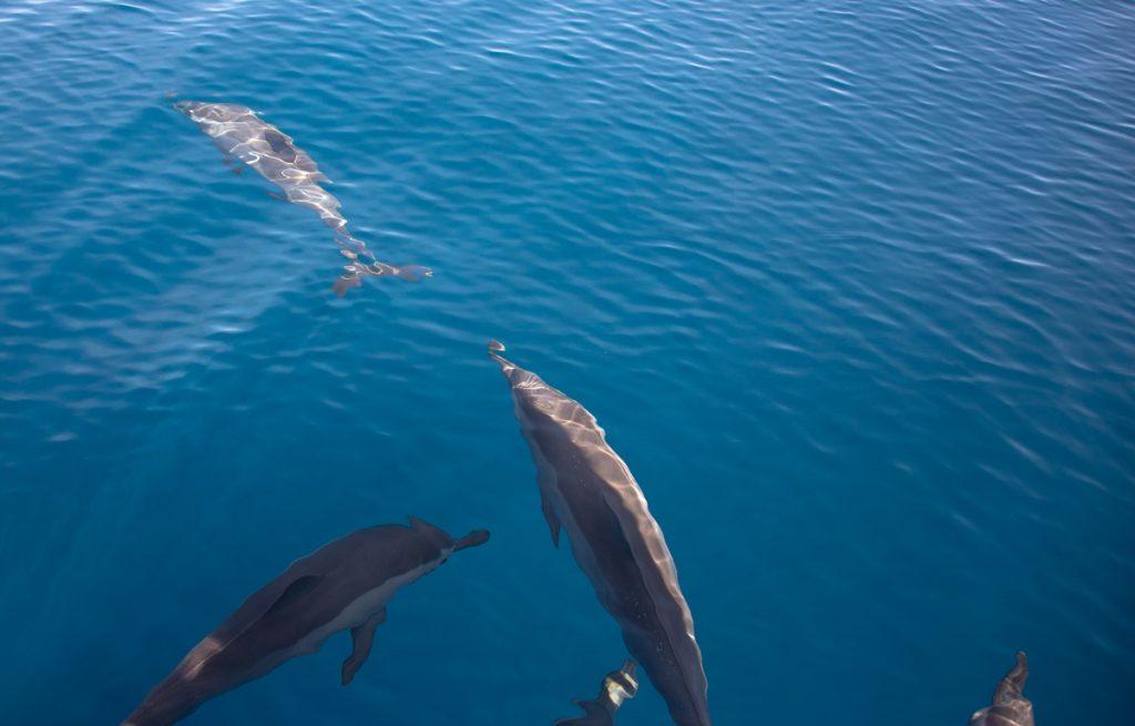 delfiner under vannet